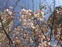 5部咲きでしょうか。ビルの間の桜。