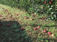 落ちたリンゴ(秋映 あきばえ)